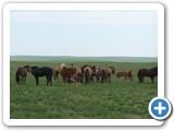 mongolian-horse